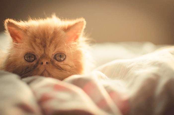 Características del gato persa Tabby