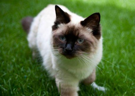 """Gato """"Muñeca de Trapo"""""""