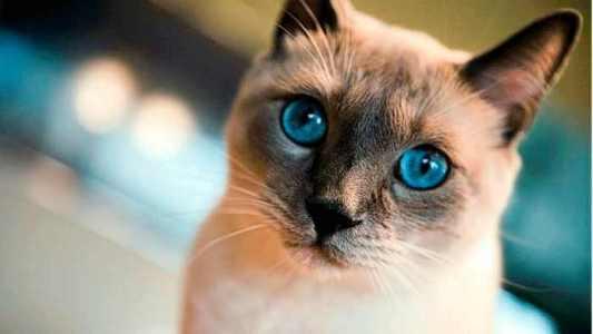 Gato tradicional de ojos claros