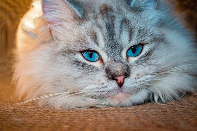 Temperamento del gato Siberiano