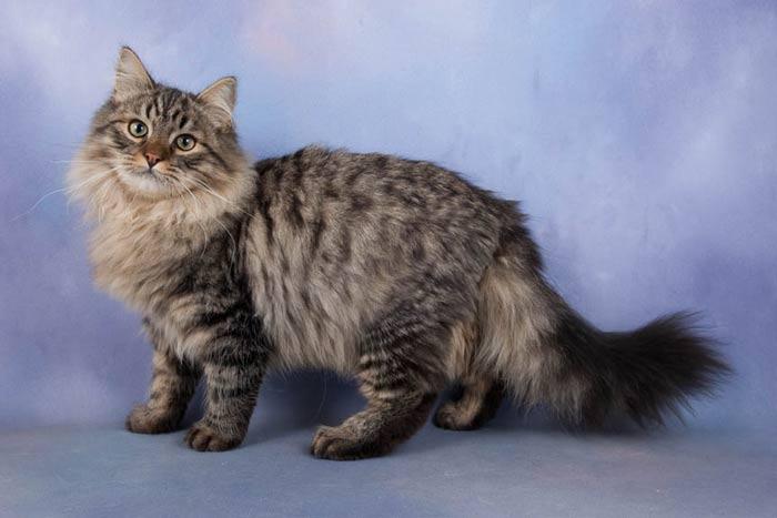 Características del gato siberiano