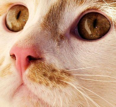 ¿Qué puede comer mi gato van turco?