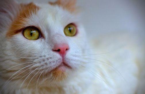 Gato van turco blanco