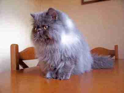 Esperanza de vida del gato persa smoke