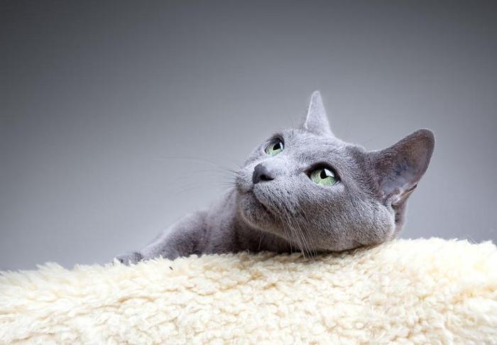 La alimentación del gato azul ruso