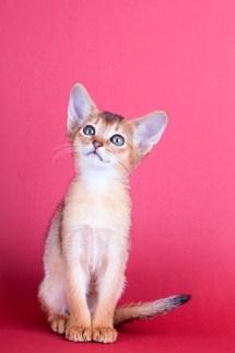 Peso del gato Abisinio