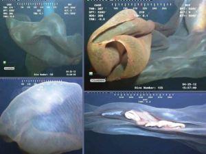 Misteriosa 'cascade creature' de las profundidades del mar