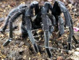spider 1 - Mysterious Tarantulas Spiders kill two people in Indian Village leaving Villagers in fear
