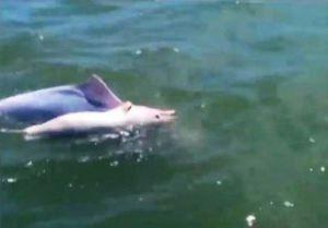 Desgarradora escena: delfín adulto lleva a un bebé delfín muerto en su parte posterior mientras nada a casa