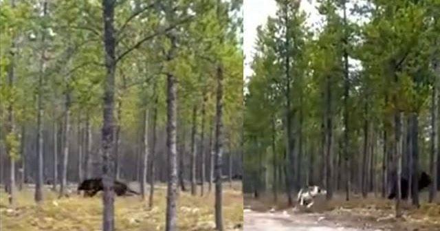 Hombre asustado graba perro atacado por un gran lobo