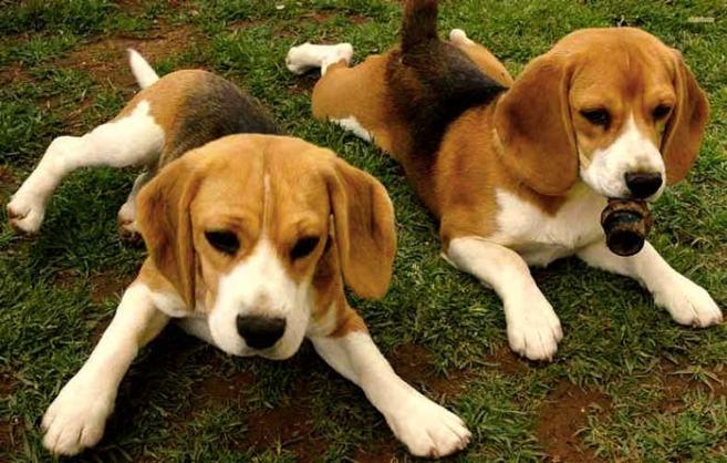 El Beagle de 8 meses