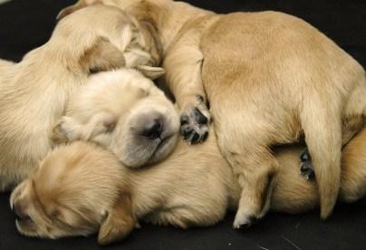 Cómo cuidar un Labrador Retriever cachorro
