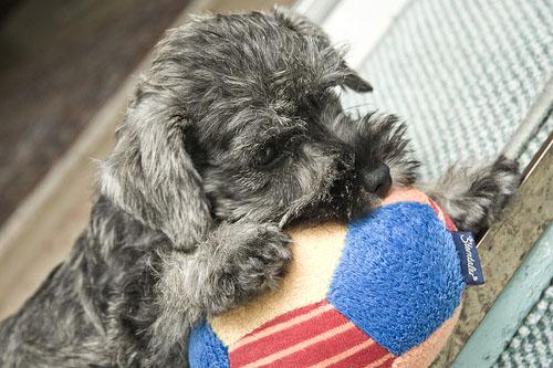 Cachorro Schnauzer miniatura socializar
