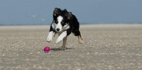 Carácter del cachorro de Collie de la frontera