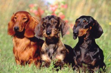 Tres tipos de Perro Tejonero según su pelaje