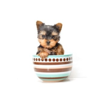 Yorkshire Terrier de 1 mes