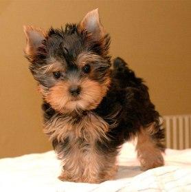Cachorro de Yorkshire de 3 meses