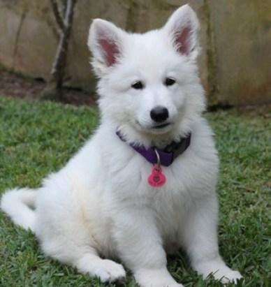Cachorro Pastor Alemán de color blanco