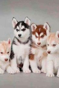 Husky Siberiano bebé de color marrón, blanco y negro