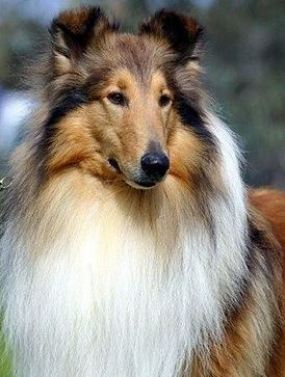 Hembra de collie de pelo largo
