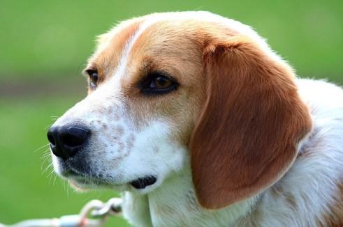 Los cuidados del Beagle