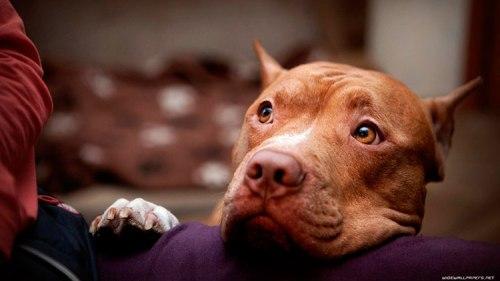 Carácter del Pit Bull Terrier Americano