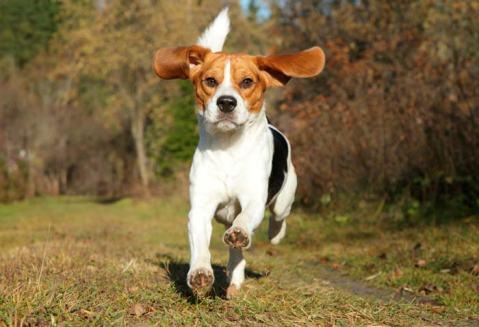 Carácter del Beagle