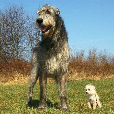 Cazador de Lobos Irlandés comparado con perro pequeño