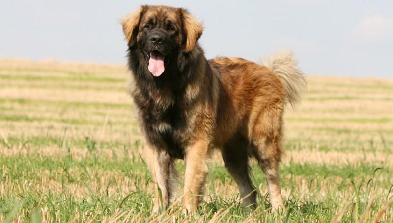 Un perro gigante alemán todoterreno