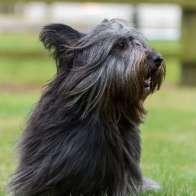 skye-terrier-1