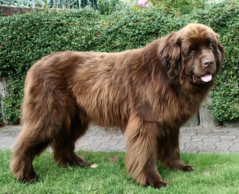 El perro más grande de Canadá