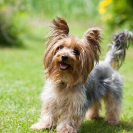 yorkshire-terrier-6