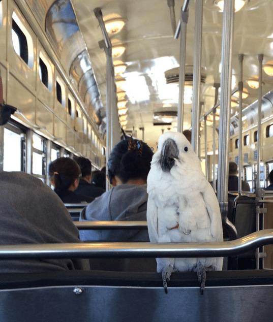 white parrot muni