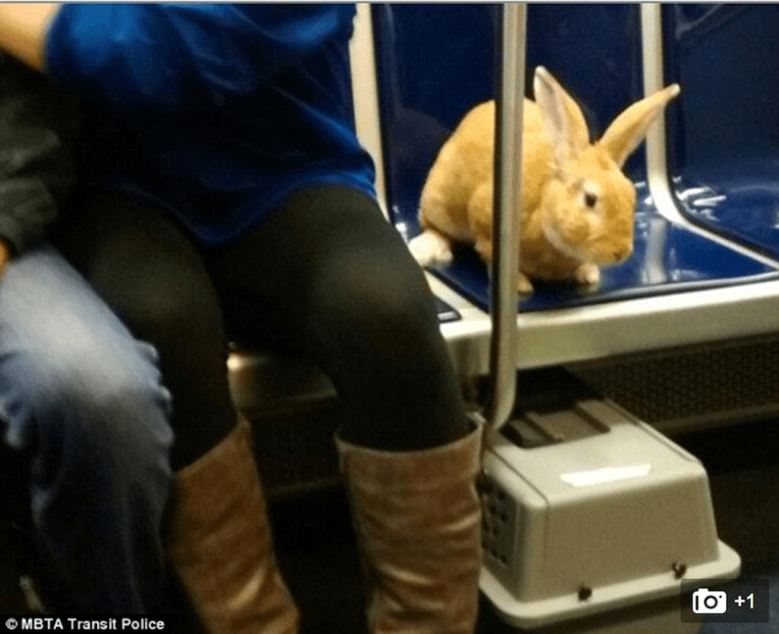 boston transit rabbit