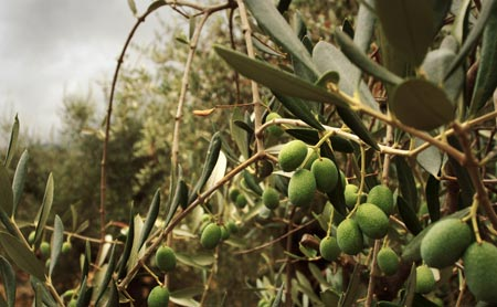Close-up of some olives ripening on a tree