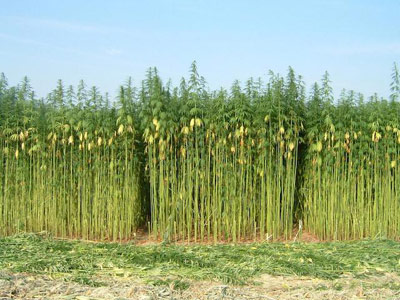 Industrial-Hemp