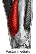 vastus-medialis-muscle