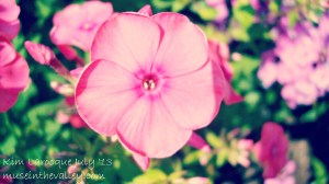light pink flowers1