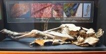 Vitrina con un cadáver momificado