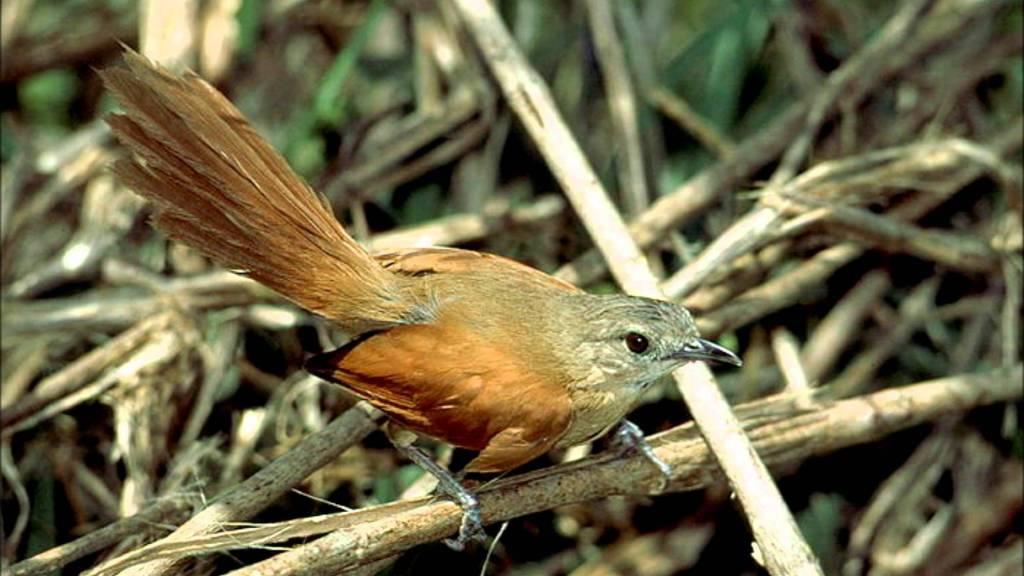 João-do-pantanal