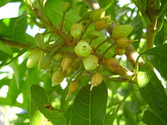Acara-uba Fruta