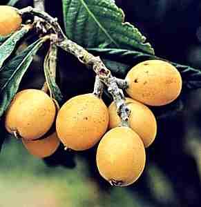 Ameixa da caatinga Fruta