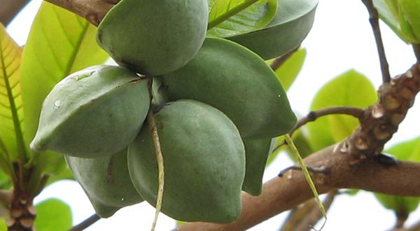 Amêndoa Fruta