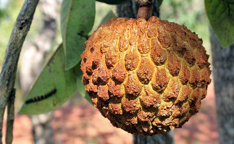Araticum Fruta