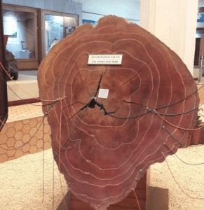 kayu jati berumur 336 tahun