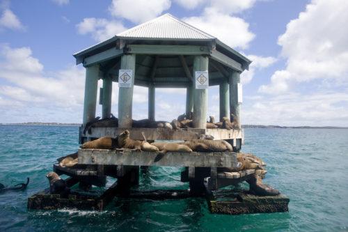Seal colony in Port Phillip Bay
