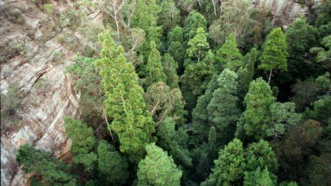 Wollemi Pines, in regional NSW.