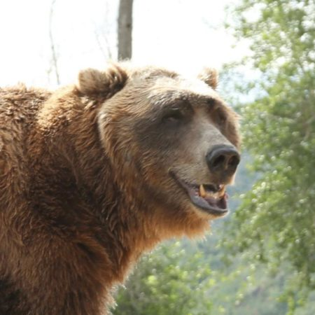 Best animal actors: Bart the Bear