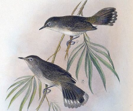 Lord Howe Island Gerygone: one of several species driven to extinction by rats