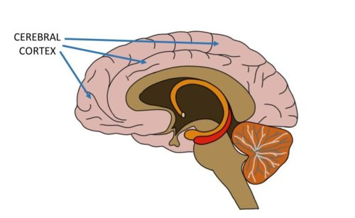Cross section of the cerebral cortex